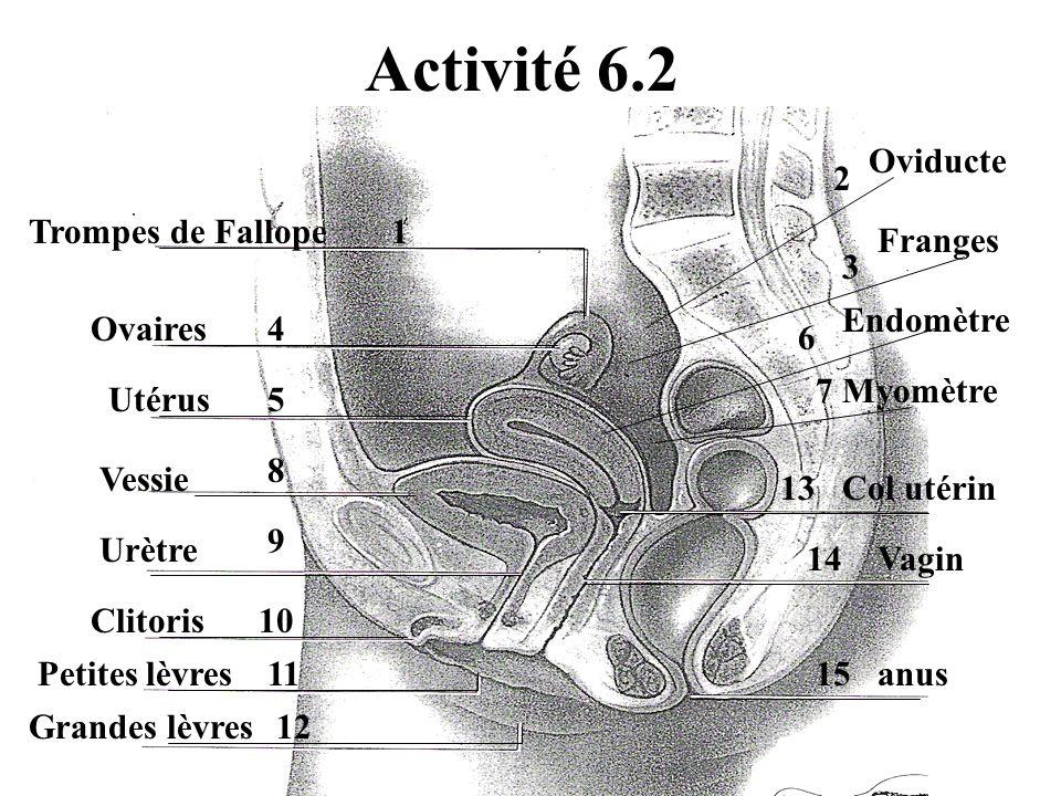 Activité 6.2 Oviducte 2 Trompes de Fallope 1 Franges 3 Endomètre