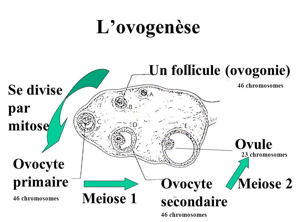 L'ovogenèse Un follicule (ovogonie) 46 chromosomes