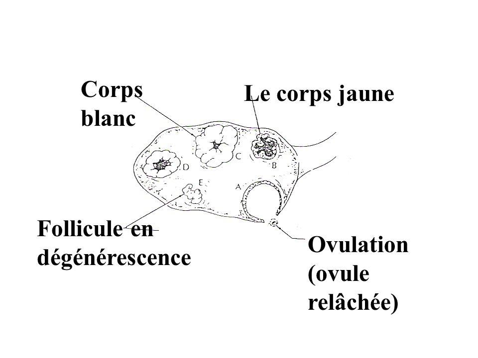 Corps blanc Le corps jaune Follicule en dégénérescence Ovulation (ovule relâchée)