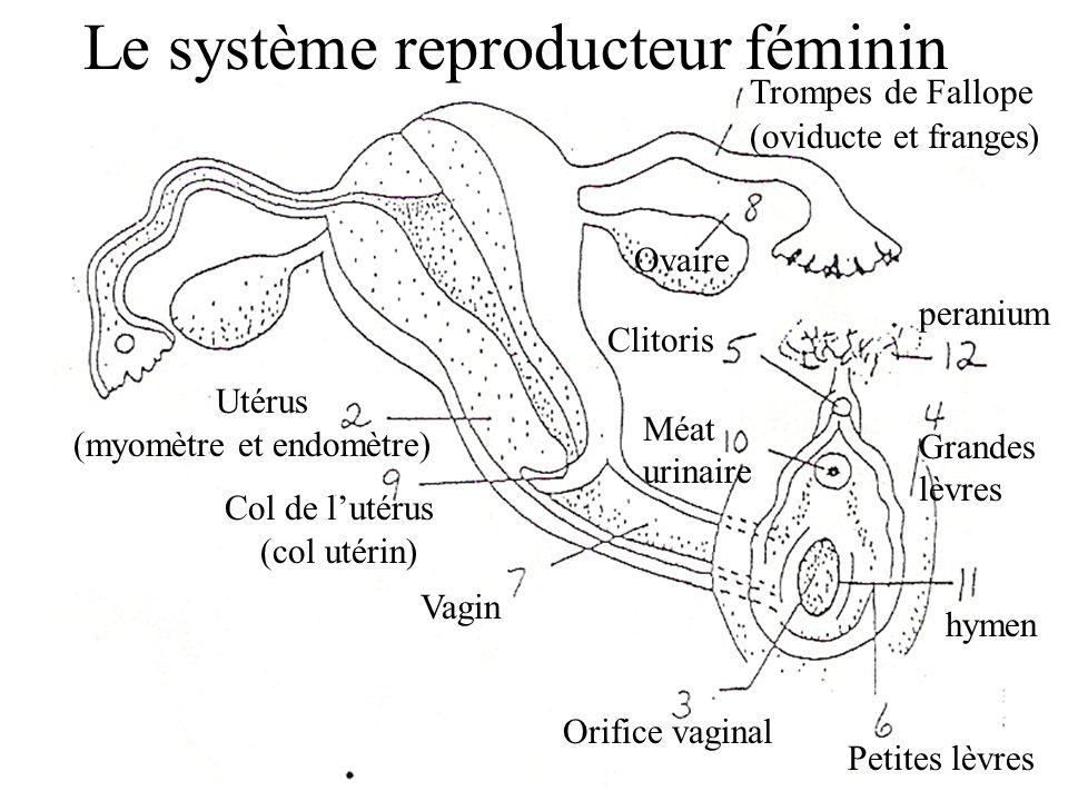Le système reproducteur féminin