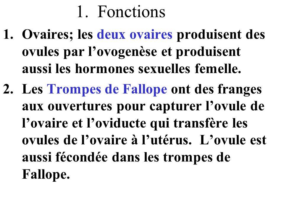 1. Fonctions Ovaires; les deux ovaires produisent des ovules par l'ovogenèse et produisent aussi les hormones sexuelles femelle.