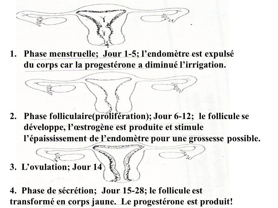 Phase menstruelle; Jour 1-5; l'endomètre est expulsé du corps car la progestérone a diminué l'irrigation.