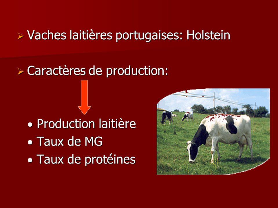 Vaches laitières portugaises: Holstein