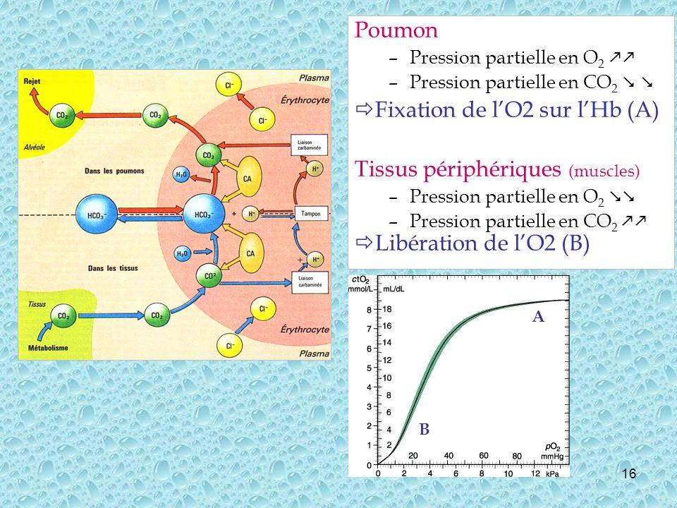 Fixation de l'O2 sur l'Hb (A) Tissus périphériques (muscles)