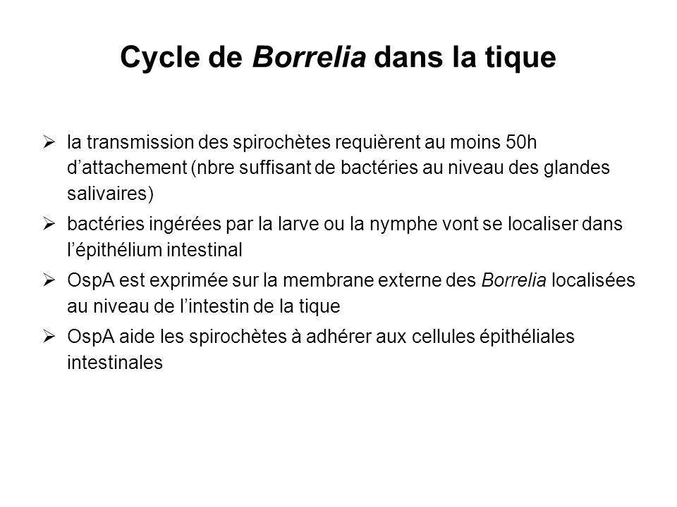 Cycle de Borrelia dans la tique