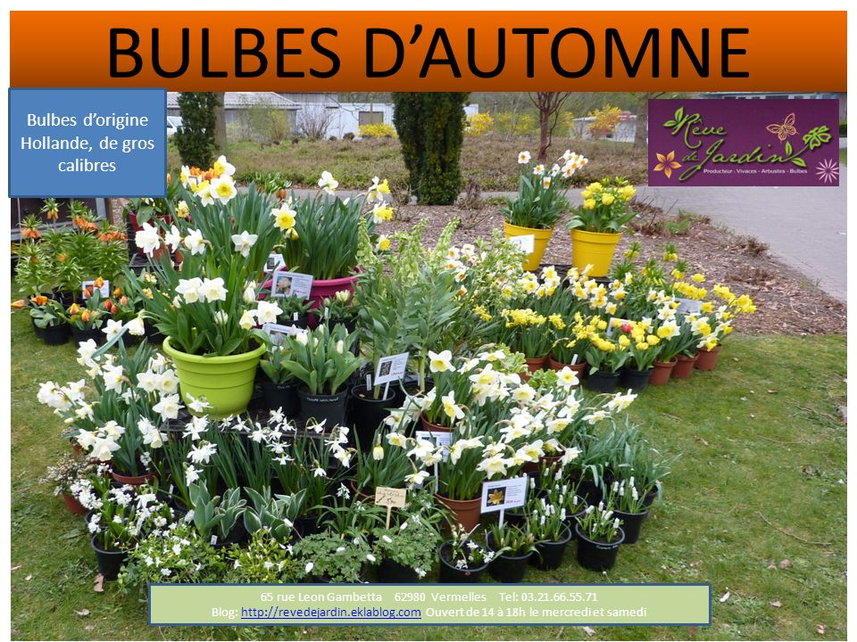 BULBES D'AUTOMNE Bulbes d'origine Hollande, de gros calibres