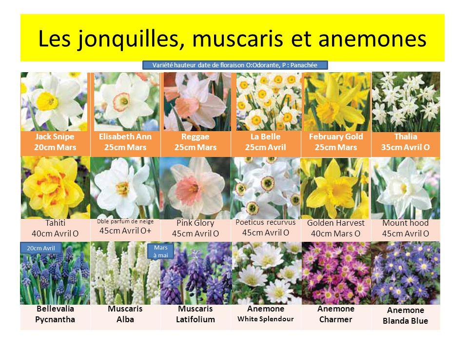 Les jonquilles, muscaris et anemones
