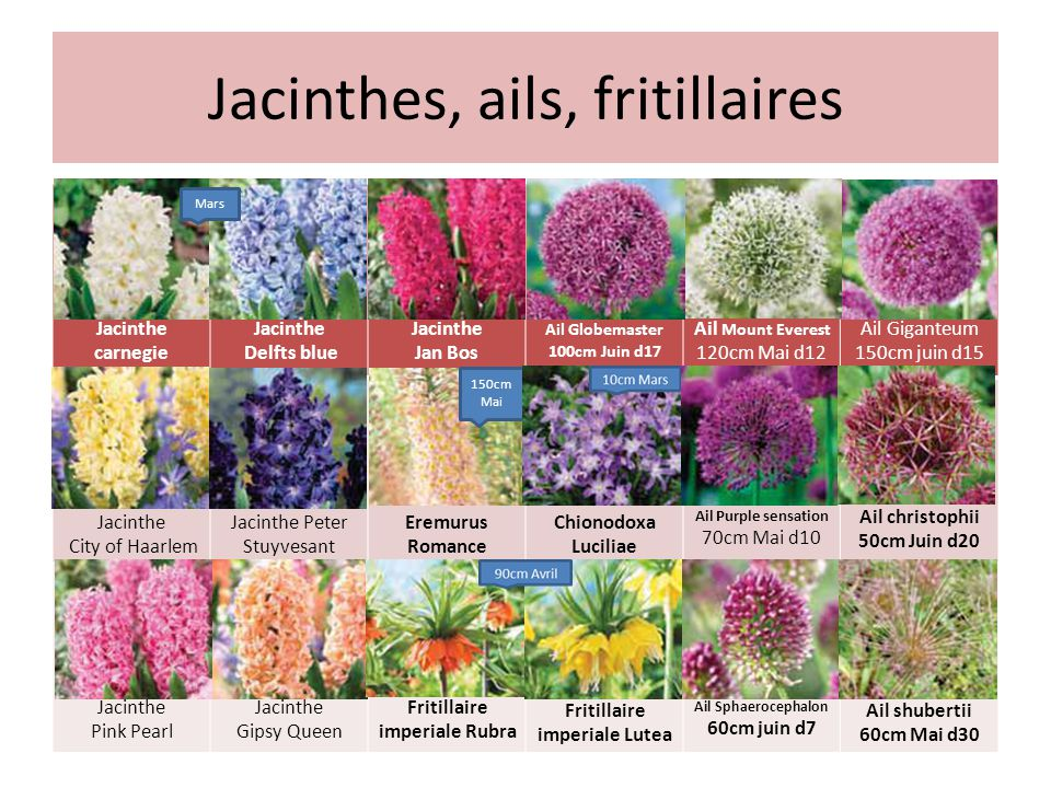 Jacinthes, ails, fritillaires