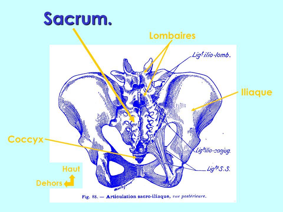 Sacrum. Lombaires Iliaque Coccyx Haut Dehors