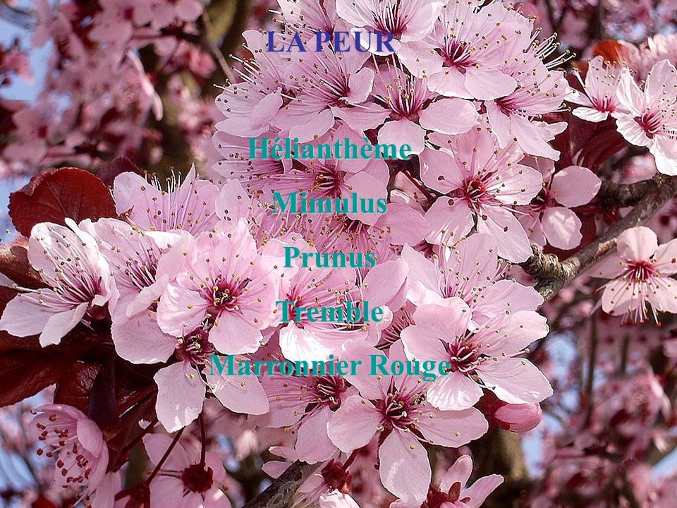 LA PEUR Hélianthème Mimulus Prunus Tremble Marronnier Rouge