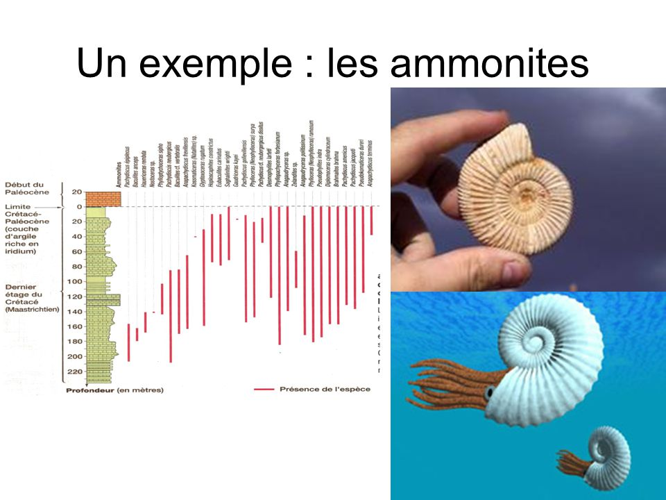 Un exemple : les ammonites