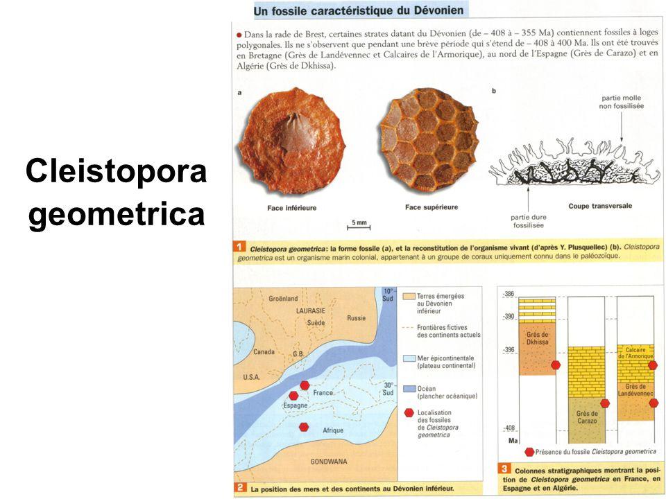 Cleistopora geometrica