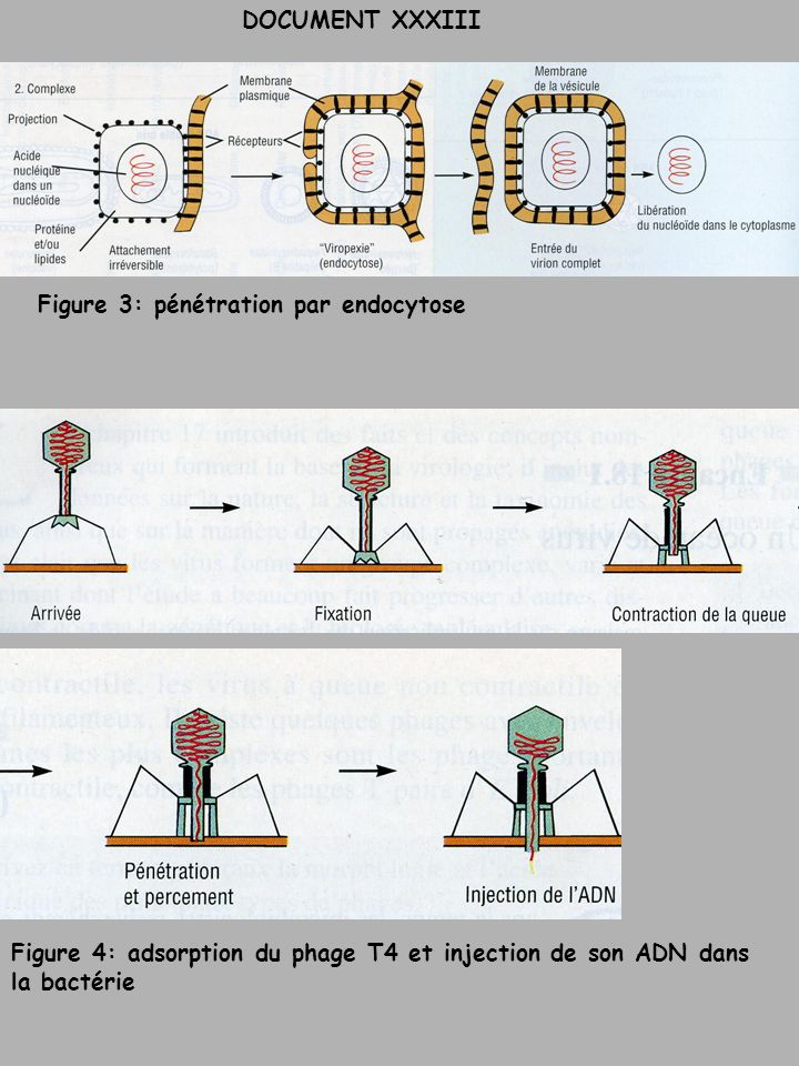 Figure 3: pénétration par endocytose