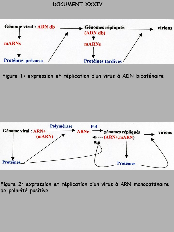 DOCUMENT XXXIVFigure 1: expression et réplication d'un virus à ADN bicaténaire. Figure 2: expression et réplication d'un virus à ARN monocaténaire.