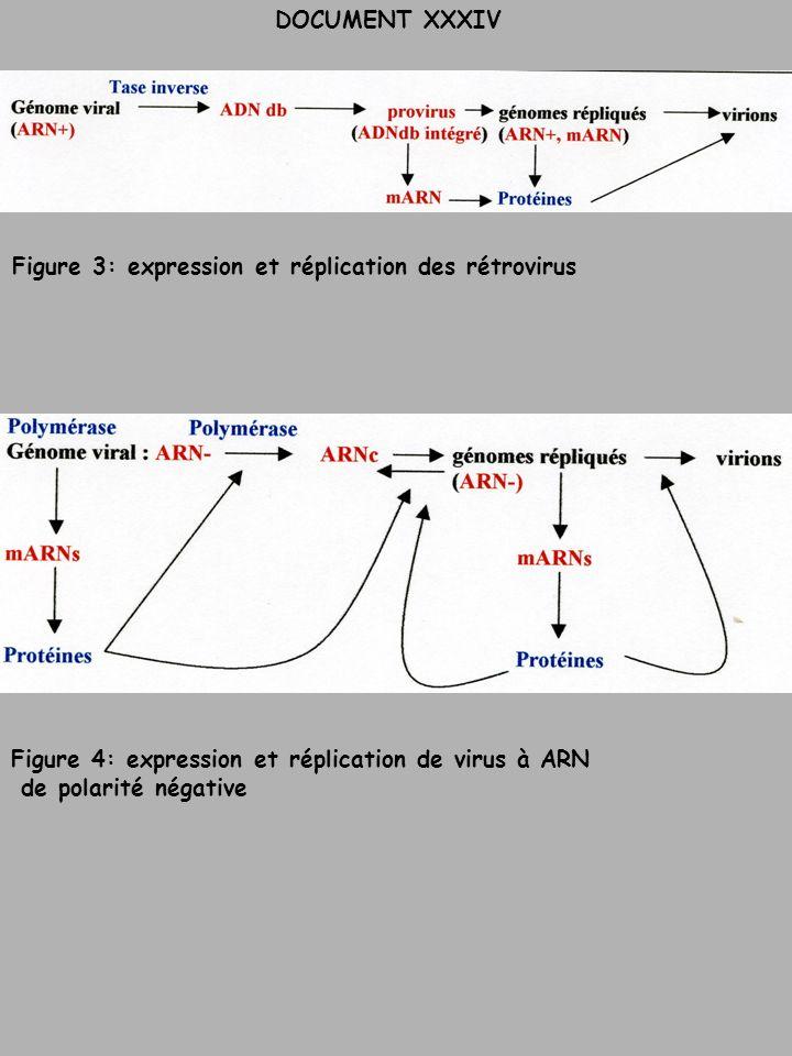Figure 3: expression et réplication des rétrovirus