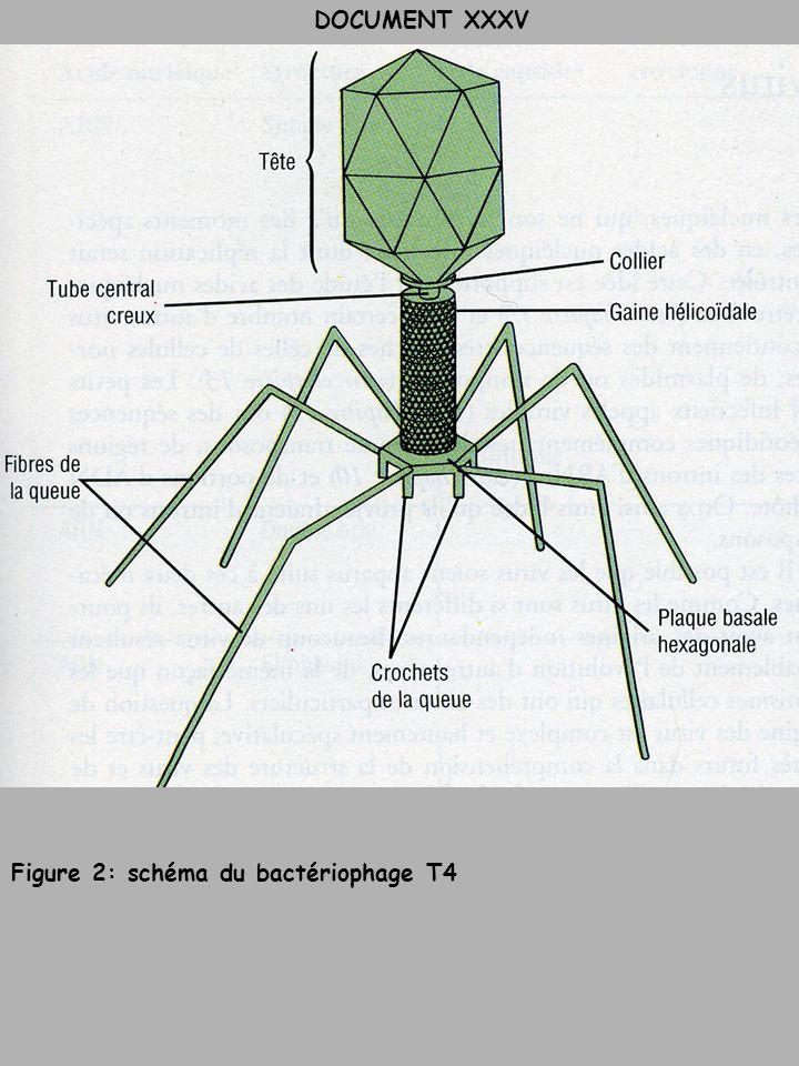 Figure 2: schéma du bactériophage T4