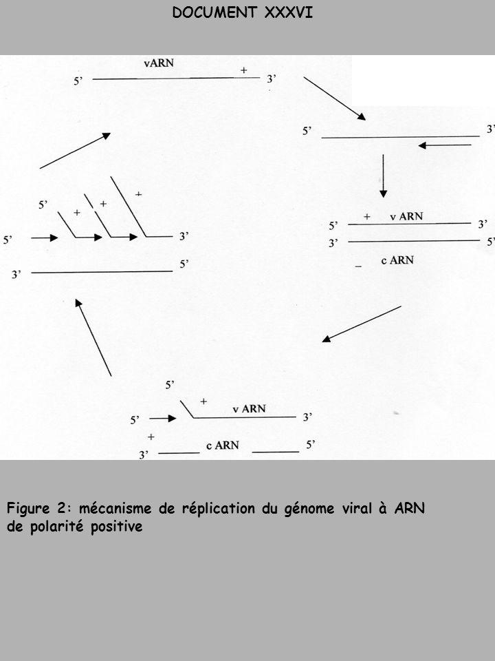 Figure 2: mécanisme de réplication du génome viral à ARN