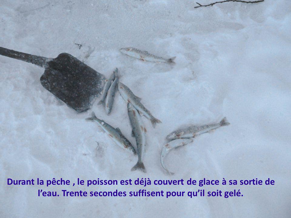 Durant la pêche , le poisson est déjà couvert de glace à sa sortie de l'eau.