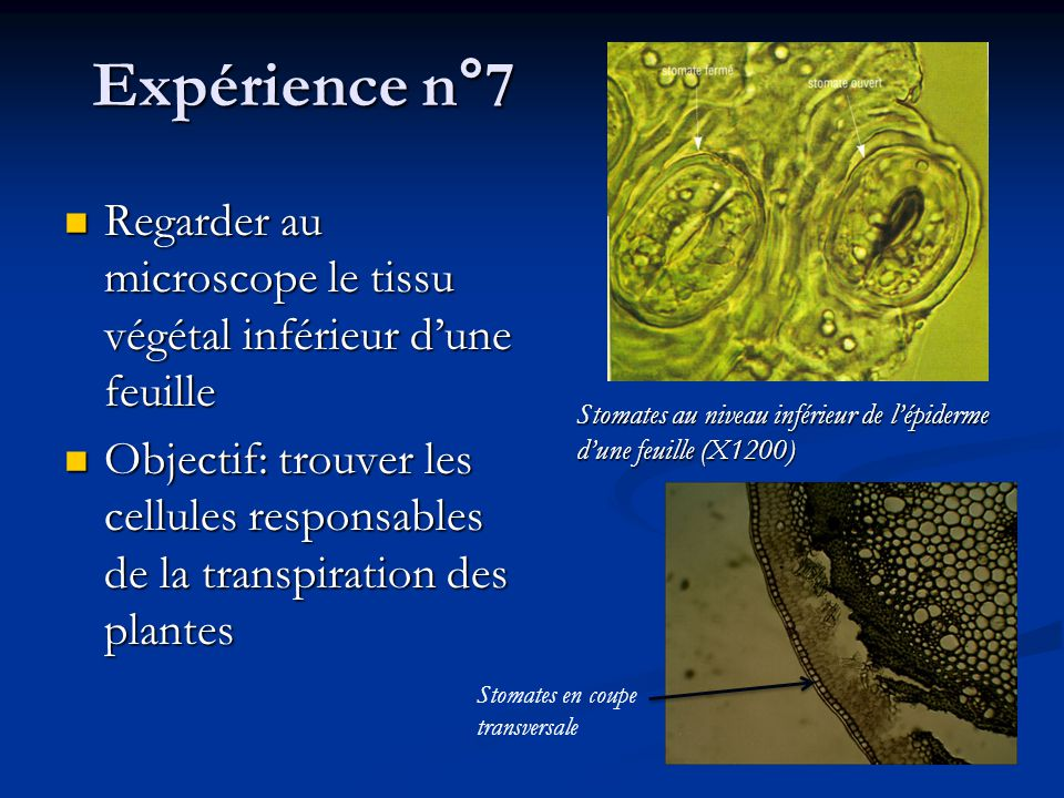 Expérience n°7 Regarder au microscope le tissu végétal inférieur d'une feuille.