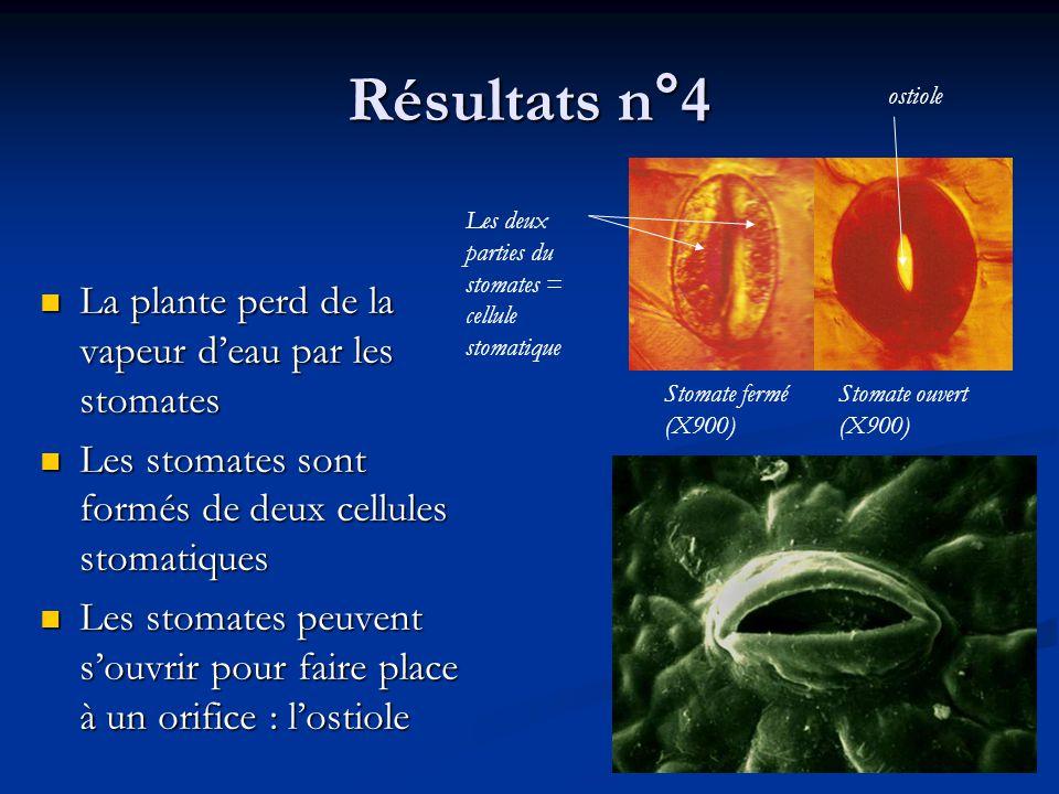 Résultats n°4 La plante perd de la vapeur d'eau par les stomates