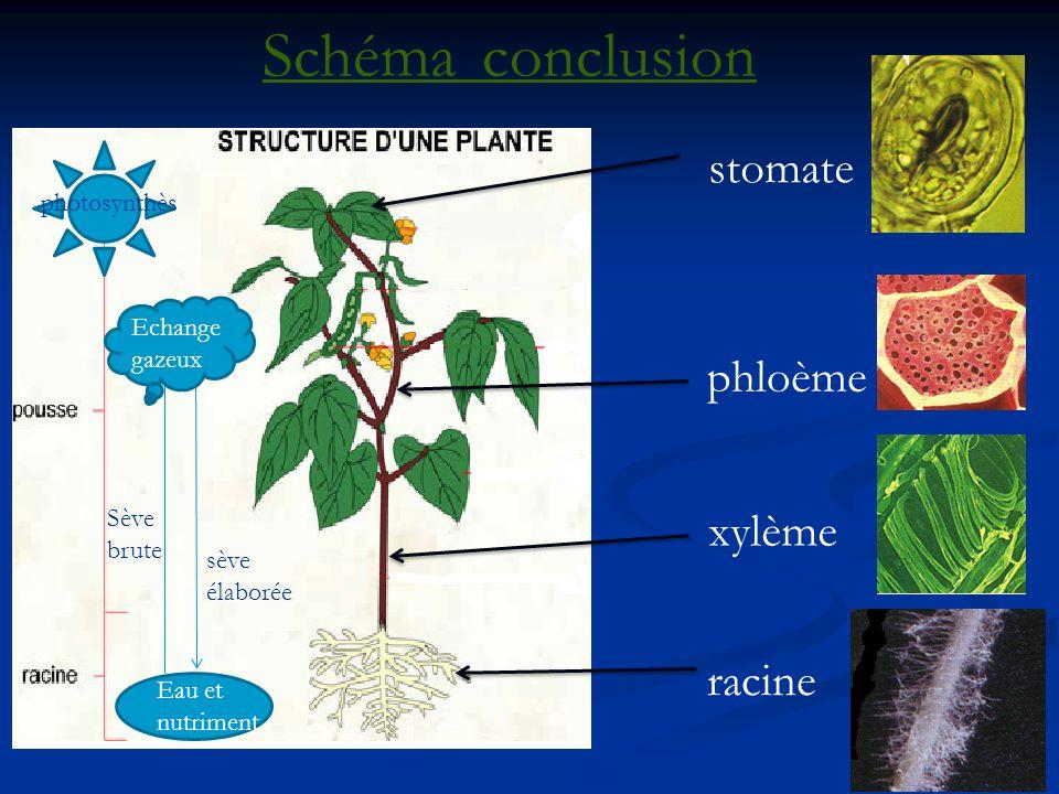 Schéma conclusion stomate phloème xylème racine photosynthèse
