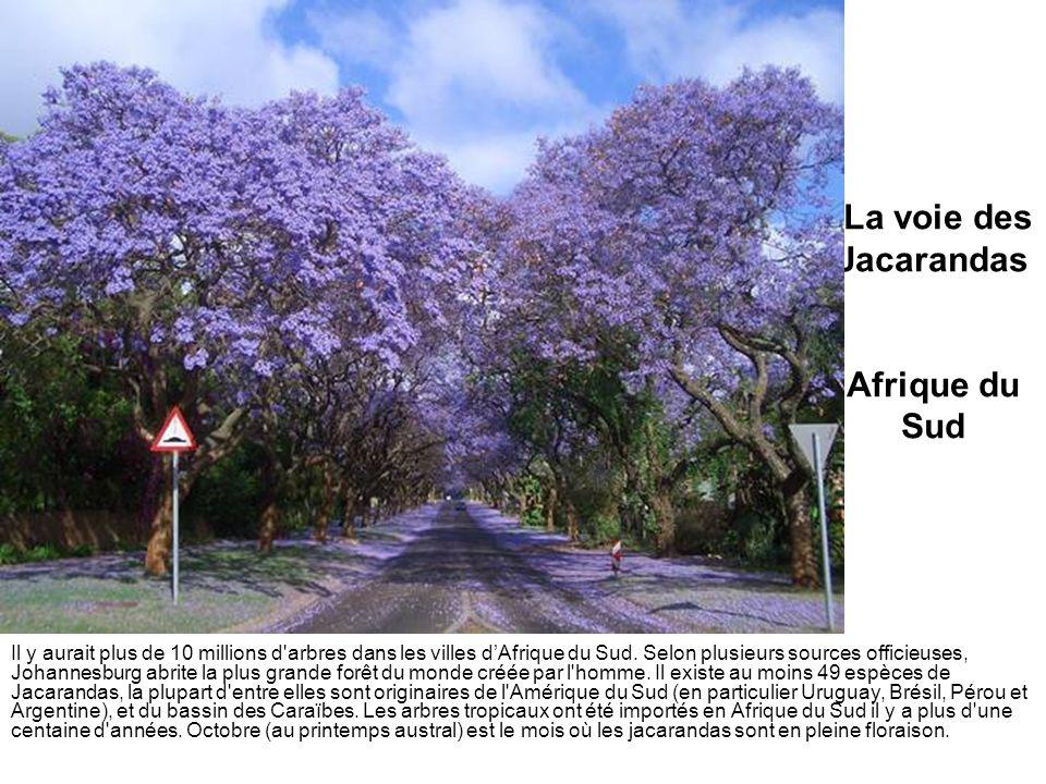 La voie des Jacarandas Afrique du Sud