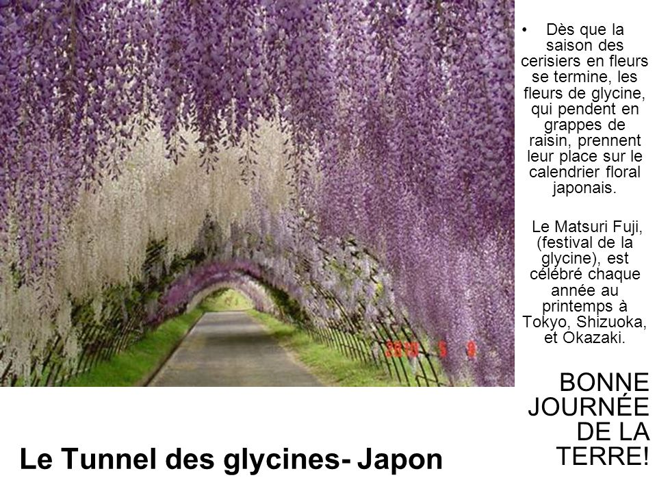 Le Tunnel des glycines- Japon