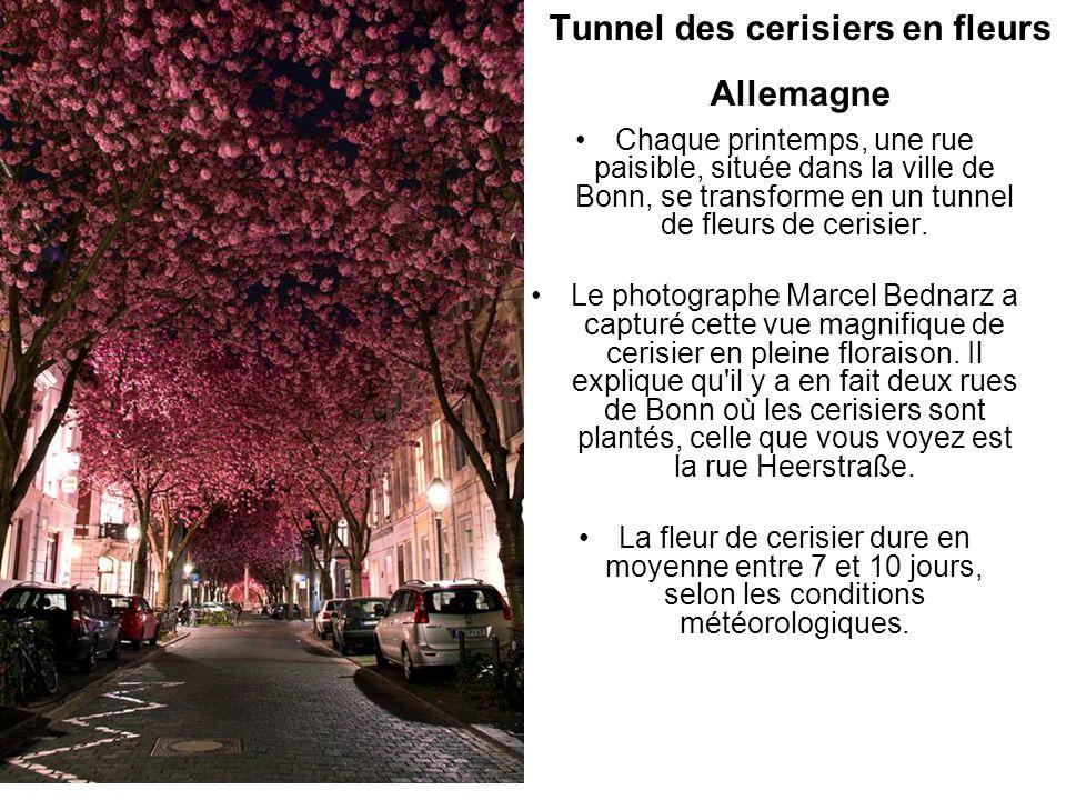 Tunnel des cerisiers en fleurs Allemagne