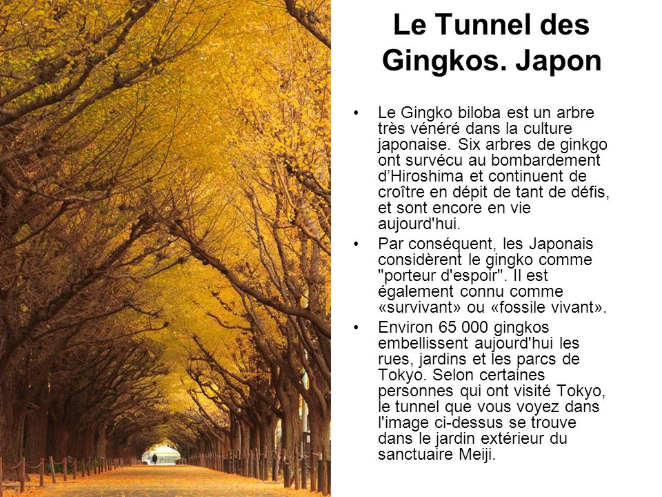 Le Tunnel des Gingkos. Japon