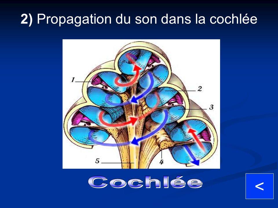 2) Propagation du son dans la cochlée