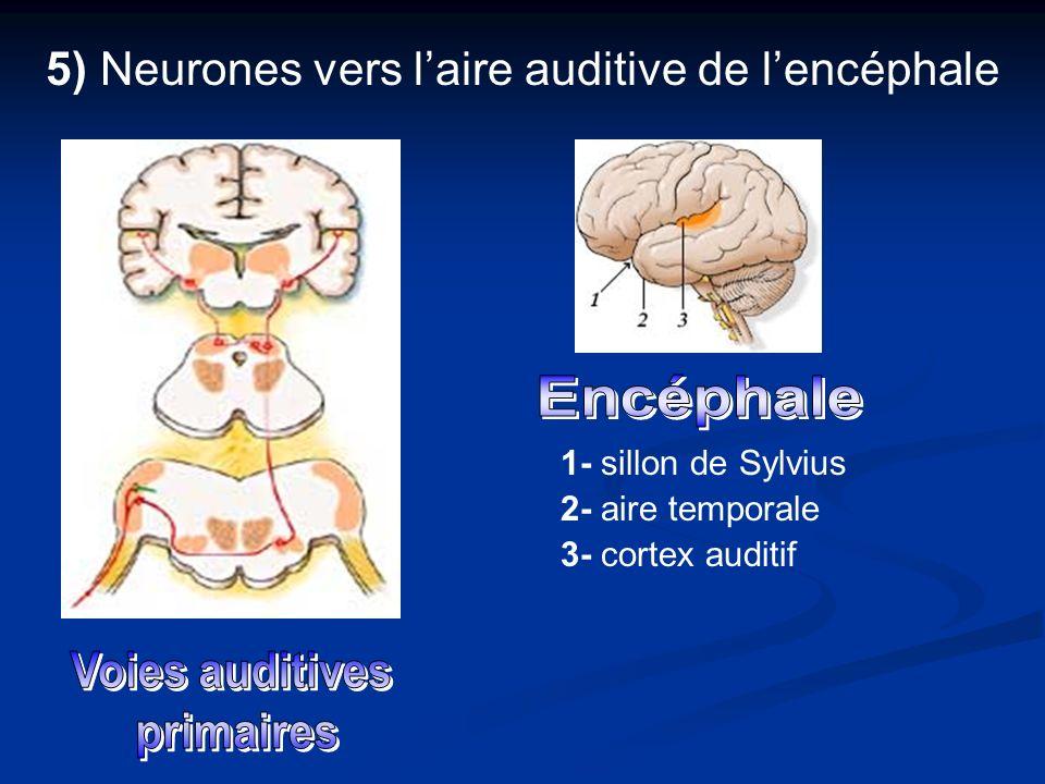 5) Neurones vers l'aire auditive de l'encéphale