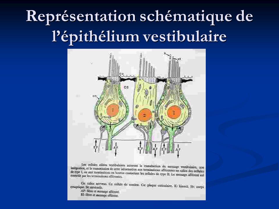 Représentation schématique de l'épithélium vestibulaire