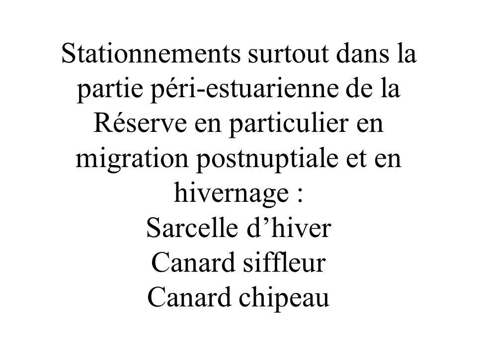 Stationnements surtout dans la partie péri-estuarienne de la Réserve en particulier en migration postnuptiale et en hivernage : Sarcelle d'hiver Canard siffleur Canard chipeau