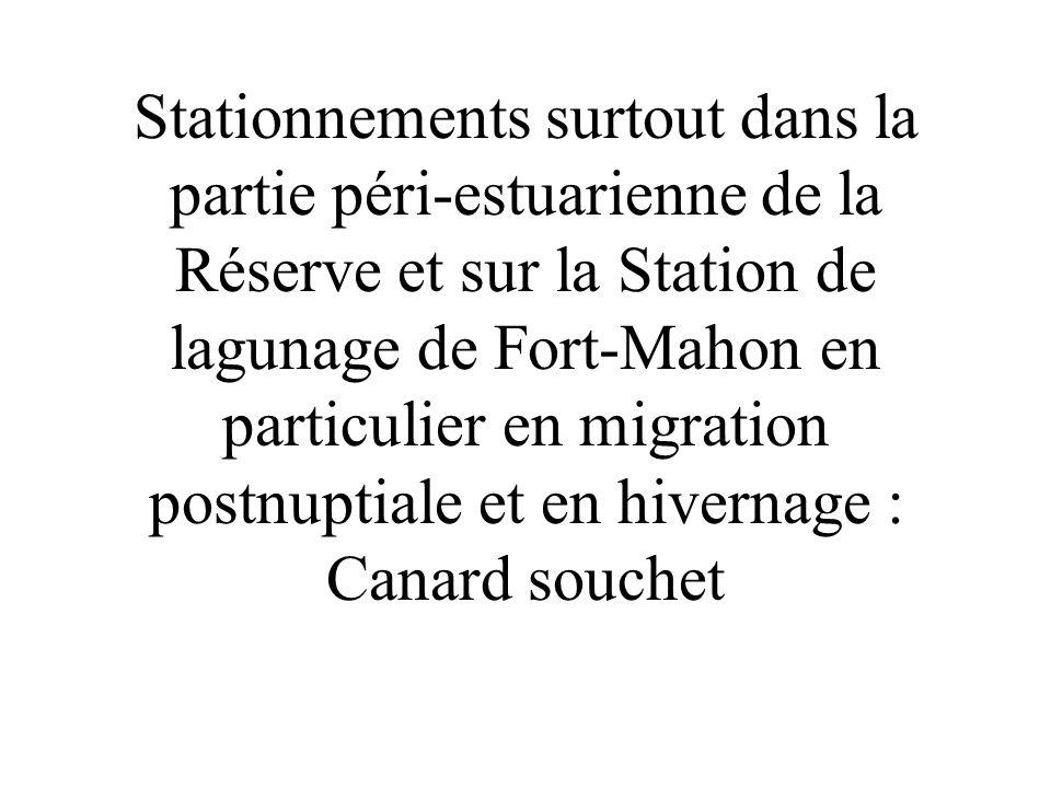 Stationnements surtout dans la partie péri-estuarienne de la Réserve et sur la Station de lagunage de Fort-Mahon en particulier en migration postnuptiale et en hivernage : Canard souchet