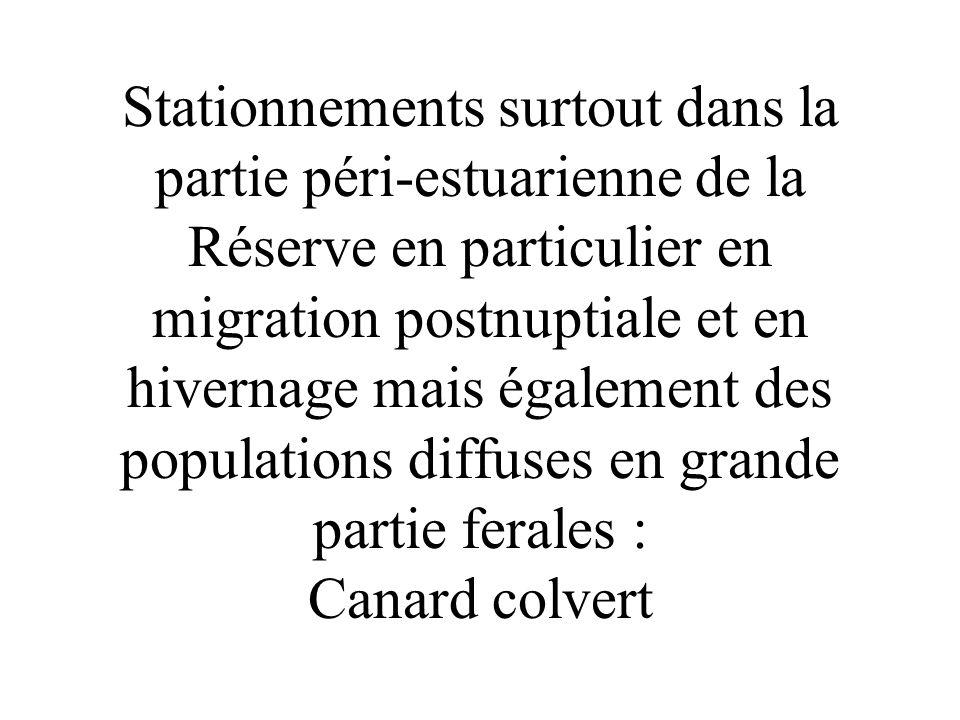 Stationnements surtout dans la partie péri-estuarienne de la Réserve en particulier en migration postnuptiale et en hivernage mais également des populations diffuses en grande partie ferales : Canard colvert