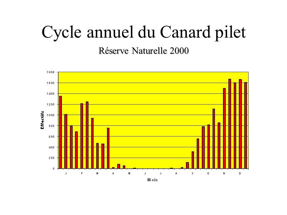 Cycle annuel du Canard pilet