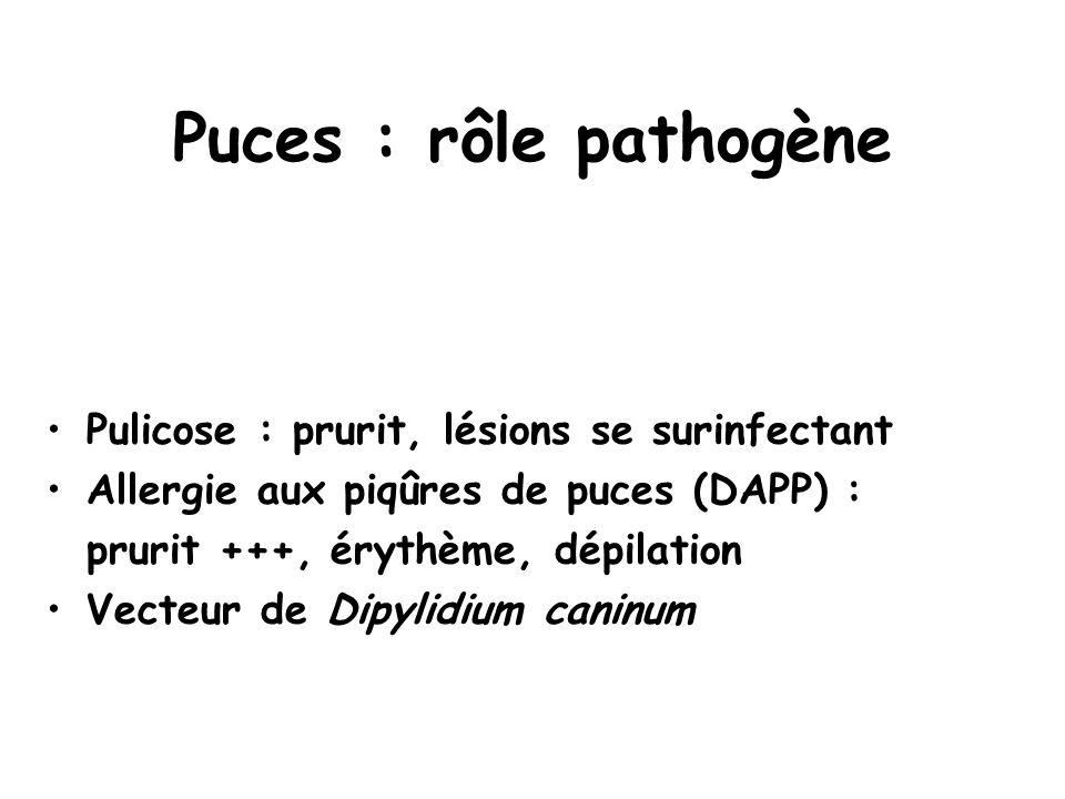 Puces : rôle pathogène Pulicose : prurit, lésions se surinfectant