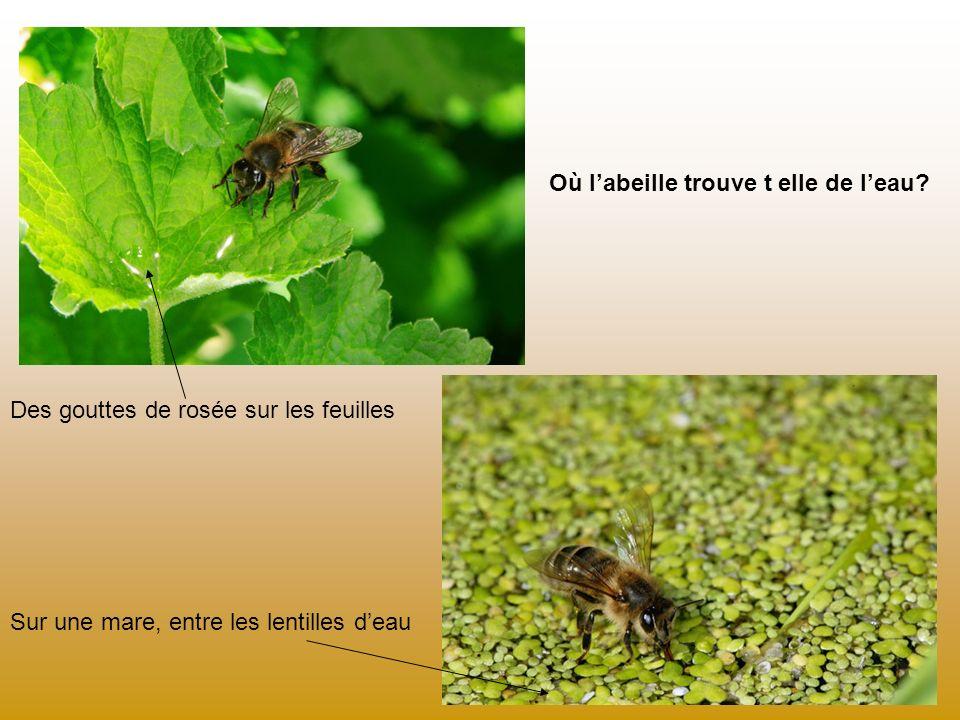 Où l'abeille trouve t elle de l'eau