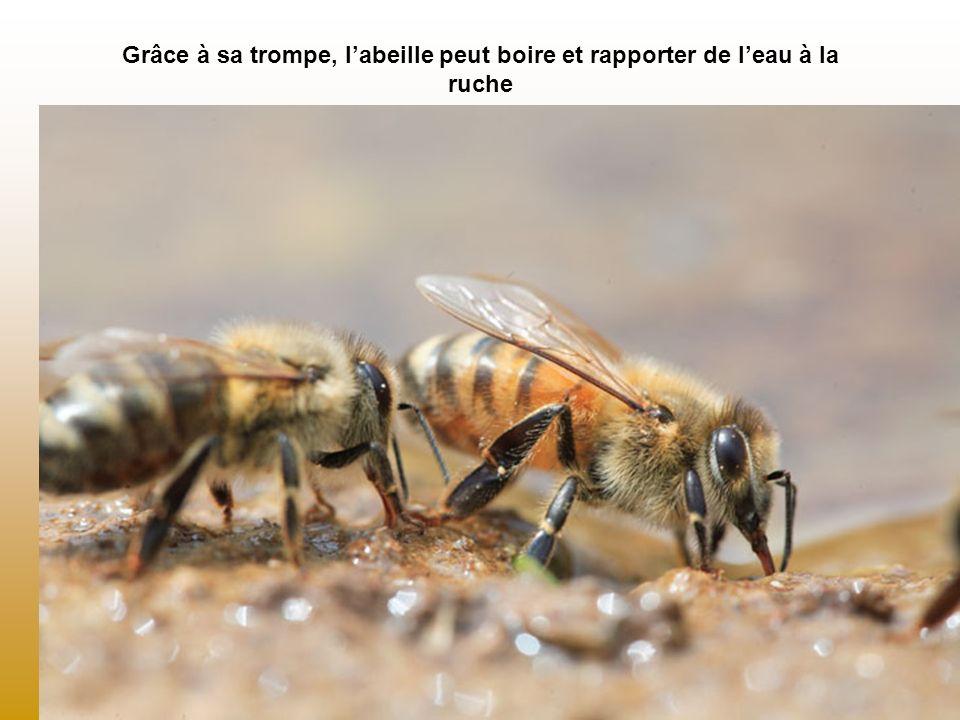 Grâce à sa trompe, l'abeille peut boire et rapporter de l'eau à la ruche