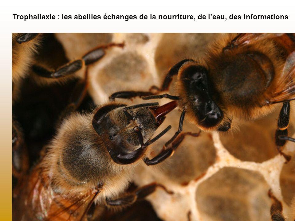 Trophallaxie : les abeilles échanges de la nourriture, de l'eau, des informations