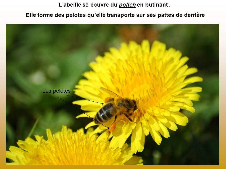 L'abeille se couvre du pollen en butinant .