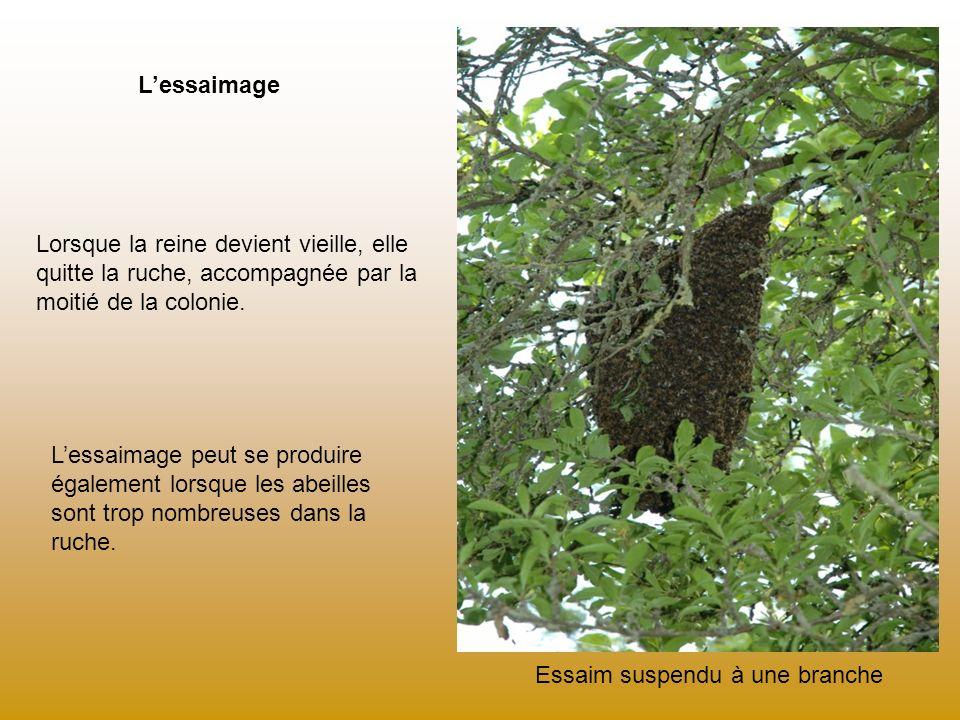 L'essaimage Lorsque la reine devient vieille, elle quitte la ruche, accompagnée par la moitié de la colonie.