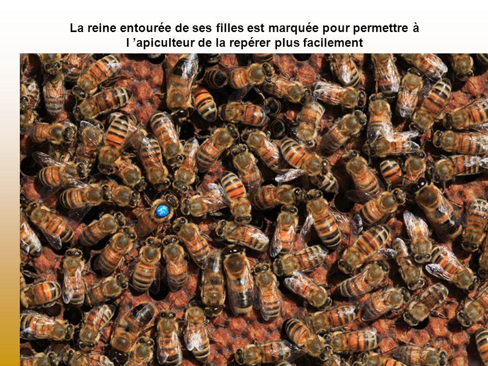 La reine entourée de ses filles est marquée pour permettre à l 'apiculteur de la repérer plus facilement