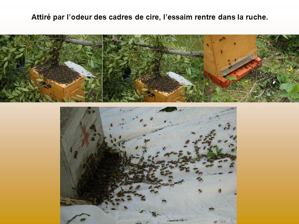 Attiré par l'odeur des cadres de cire, l'essaim rentre dans la ruche.