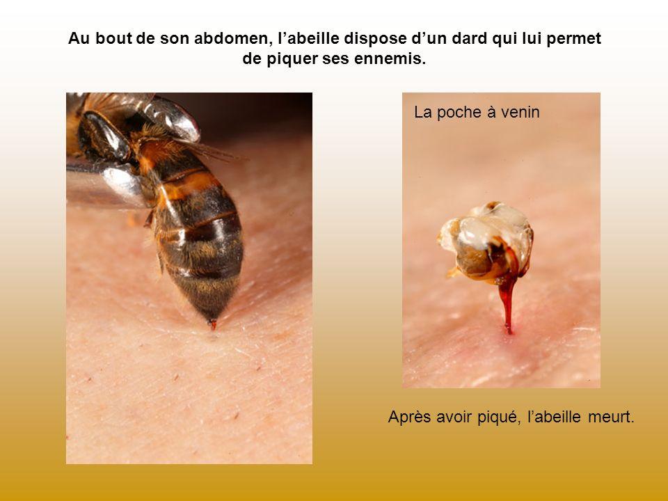 Au bout de son abdomen, l'abeille dispose d'un dard qui lui permet de piquer ses ennemis.