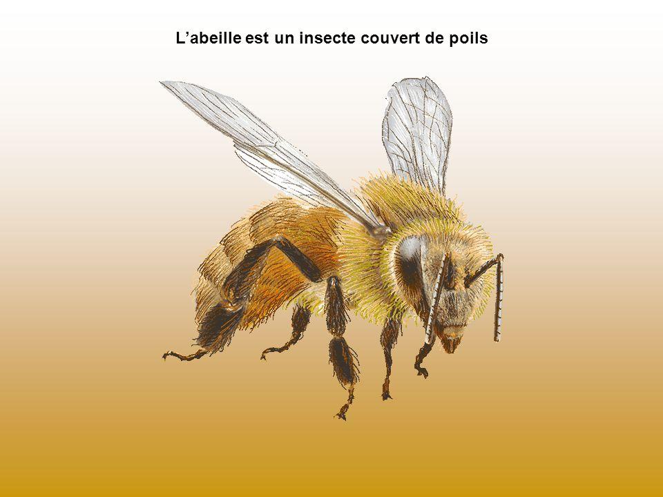 L'abeille est un insecte couvert de poils