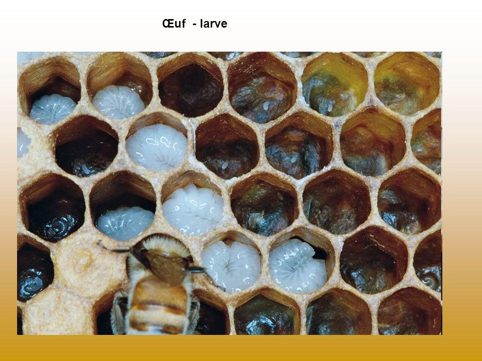 Œuf - larve