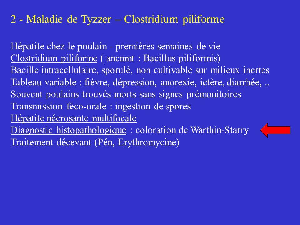 2 - Maladie de Tyzzer – Clostridium piliforme