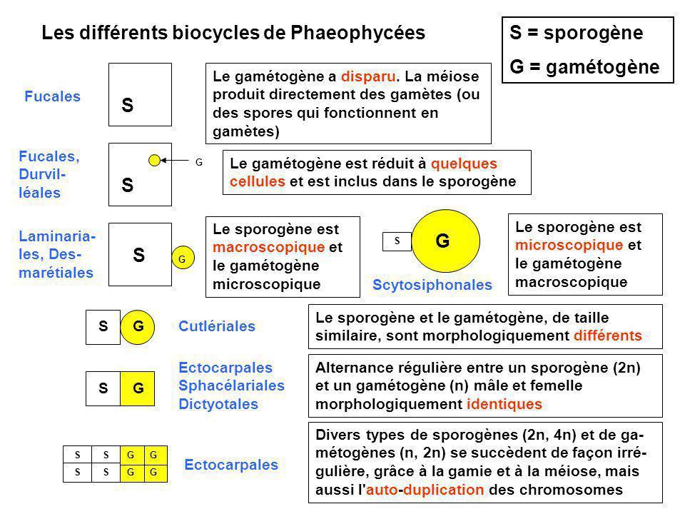 Les différents biocycles de Phaeophycées S = sporogène G = gamétogène