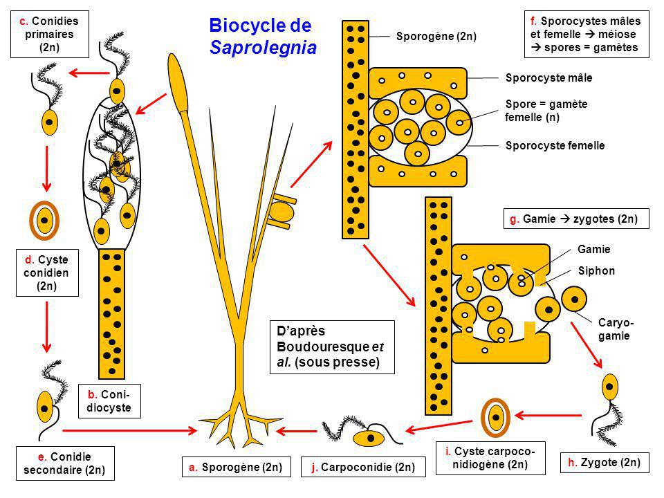 Biocycle de Saprolegnia